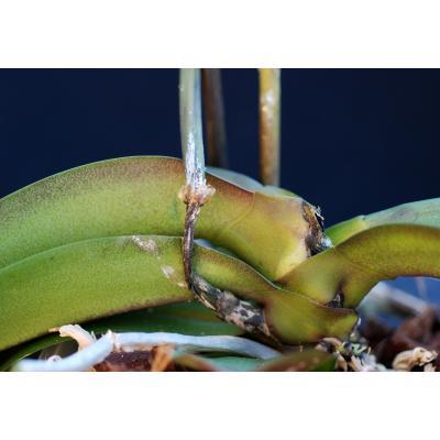 Phalaenopsis OR D1274 Fusarium.jpg