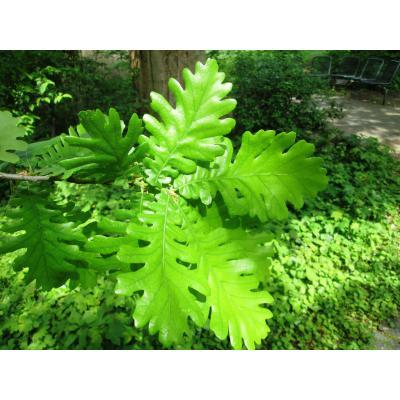Quercus frainetto Blatt_v. Birgelen.JPG