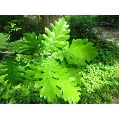 Quercus frainetto Blatt_v. Birgelen_30.JPG